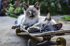 Kostenloses Bild auf Pixabay - Katze, Skateboard, Ride, Haustiere