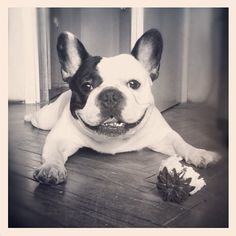 """Bulldog Excited About iPhone 5 Preorder  At 12 am this morning, a French bulldog named Joker was among the first in the country to pre-order the coveted iPhone 5, Apple's latest smartphone.  """"He's obsessed with those gadgets,"""" says Fred O'Conner, a source close to the situation. """"He has more apps than God.""""  Via ind.o.g."""