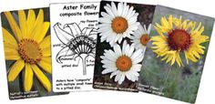 Improve your plant identification skills with the Shanleya's Quest Patterns in Plants Card Game. Start learning plant family characteristics with these flower cards. Science Activities, Science Projects, Homeschool Curriculum Reviews, Homeschooling, Teaching Plants, Creation Myth, Plant Identification, Fun Games For Kids, Wild Edibles