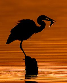 Summer Silhouette of heron with fish. Nature Pictures, Cool Pictures, Cool Photos, Beautiful Pictures, Beautiful Birds, Animals Beautiful, Beautiful Places, Animal Photography, Nature Photography
