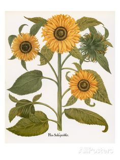 Sunflower Giclee Print by Besler Basilius at AllPosters.com
