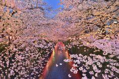 "Photo and caption by Motoki Uemura / National Geographic Traveler Photo Contest I'm looking forward to seeing ""Sakura light-up"" at megurogawa river every spring."