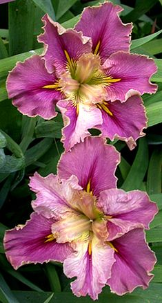 Prix De Elegance - L.Iris.  A lovely soft rose-pink self with a cream rim and reverse. Style arms are also rose pink. Ruffled and lovely.