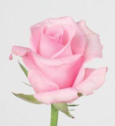 Blushing Akito rose - Bing Images Blush Pink Wedding Flowers, Blush Pink Weddings, Little Rose, Biscuit, Bing Images, Pictures, Roses, Flowers, Photos