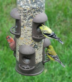 finches bird food