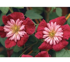 Clematis Avant-Garde™ The flowers of this striking climber consist of a central pompom of rosy pink petals backed by a set in dark velvety red. Clematis Varieties, Clematis Plants, Clematis Vine, Garden Plants, Purple Clematis, Clematis Florida, White Flower Farm, Climbing Vines, Flowering Vines