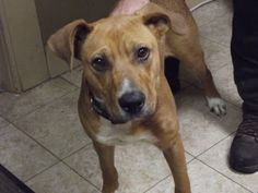 Red the tan colored dog! is an adoptable Boxer Dog in Shelbyville, IN. Don't adjust your screens, Red is brown!  This six-month-old Boxer/Lab mix was relinquished to the animal shelter on Saturday, Oc...