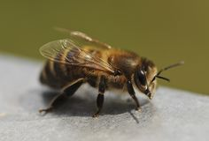 """The most common bee controversy ever associated with Albert Einstein is if he had ever predicted this: """"If the bee disappears from the surface of the earth, man would have..."""