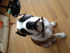 Cutest dog in the world. Valley bulldog (boxer x english bulldog). A classic Sophie pose.