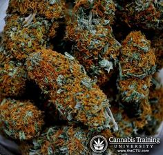 Marijuana buds. Medicine will be extracted from them! cannabistraininguniversity.com