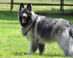 The Shiloh Shepherd is a rare breed of dog that is still in development. They are not recognized by any major kennel club, but may be shown in rare breed organizations. Giant Dogs, Big Dogs, Large Dogs, Dogs And Puppies, Shiloh Shepherd, Best Dog Breeds, Large Dog Breeds, Giant Dog Breeds, West Highland Terrier