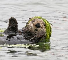 Fashionista sea otter can pull off a kelp hat - June 2018 Cute Funny Animals, Cute Baby Animals, Animals And Pets, Beautiful Creatures, Animals Beautiful, Otter Facts, Otter Tattoo, Baby Sea Otters, Otters Cute