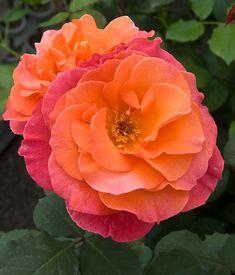 'Sedona' | Hybrid Tea Rose. Dr. Keith W. Zary , 2008 | Flickr - © Neil Evans