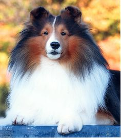 shetland sheepdogs ~~Raisan's Jameson (son of Zion's Man About Town)(Jamie)->