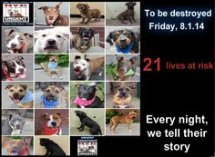 21 beautiful lives are at stake tonight and we need to help them secure a future. Please share everywhere. We only have tonight to give them them their forever. To rescue a Death Row Dog, Please read this: http://urgentpetsondeathrow.org/must-read/  To view the full album, please click here: https://www.facebook.com/media/set/?set=a.611290788883804.1073741851.152876678058553&type=3