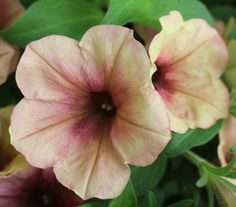 Along with the trend for super-bright colors, many plant companies are also featuring delicate blush tones and shades that conjure up earlier garden eras, as in the lovely 'Apricot Sorbet' petunia, new for Big Flowers, Types Of Flowers, Beautiful Flowers, Summer Flowers, Petunias, Most Popular Flowers, Lily Bulbs, Colorful Plants, Orchid Care