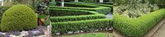 Japanese Boxwood 'Green Beauty' (Buxus Microphylla var Japonica) - Zone 6-9b Part Shade-Full Sun 4'-6' Height 3'-4' Width. Evergreen shrub with dense, dark green foliage, becoming bronze-tinged in cold weather. Heat tolerant (greener than most boxwoods), Humidity tolerant. Resistant to nematodes. Responds very well to pruning-great for hedges, topiaries and even bonsai. Prefers moist, well drained soil. Shallow roots-mulch well and water when the soil gets dry. Propagate by cuttings.