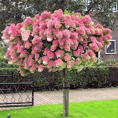 Hydrangea Tree 'Pinky Winky'