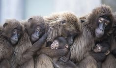 Stuttgart, Germany Female Gelada baboons, also known as bleeding-heart baboons, keep warm at Wilhelma zoo