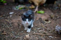 This young kitten was pecked away by some hungry chickens and roosters during a feeding. I captured this photo in the midst of the frenzy Chickens And Roosters, Kitten, Cats, Photos, Photography, Animals, Cute Kittens, Kitty, Gatos