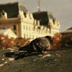 Üşümüş güvercin