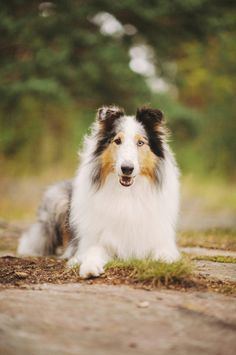 Rough Collie, by Nani Annette.