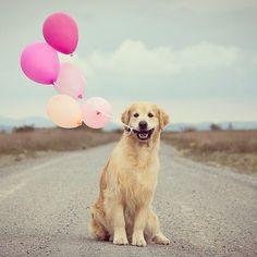 PHOTO OP: A Dog and His Balloons Via clari_calahari. http://thefluffingtonpost.com/