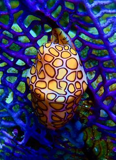 Flamingo tongue snail  The flamingo tongue snail, scientific name Cyphoma gibbosum, is a species of small but brightly colored sea snail, a marine gastropod mollusk in the family Ovulidae, the cowry allies.  via James Griffith            Scientific name: Cyphoma gibbosum