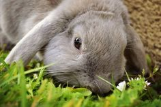 Grisette on www.yummypets.com Rabbit, bunny, animals, pets, hop, carrot, animals, Yummypets
