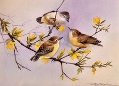 Striated Thornbill & Yellow Thornbills ~ Eric Shepherd
