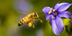 #Apicultura La #extinción de las #abejas  #amenaza la  #cadena  #alimentaria http://aga.cat/index.php/ca/articles/darreres-noticies/517-l-extincio-de-les-abelles-amenaca-la-cadena-alimentaria  #miel  #calentamientoglobal #extinció,  #abella  #mel  #escalfamentglobal