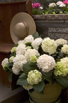 Blushing Bride (Hydrangea macrophylla 'Blushing Bride') is part of the Endless… White Flower Farm, White Flowers, Blushing Bride Hydrangea, Little Lime Hydrangea, Beautiful Gardens, Beautiful Flowers, Vanilla Strawberry Hydrangea, Fast Growing Shrubs, Annabelle Hydrangea