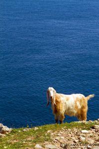 Goat by the sea, near Otranto, Puglia, Italy