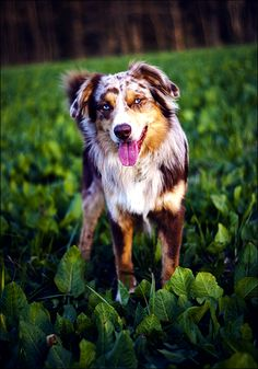 Discover The Australian Shepherd Puppies Health Australian Shepherds, Australian Cattle Dog, Aussie Shepherd, Australian Shepherd Puppies, Aussie Puppies, Dogs And Puppies, Doggies, Corgi Puppies, Beautiful Dogs