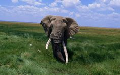 Image detail for -Animals, Africa's largest animals: elephants, African Animals Elephant ...
