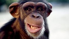 BBC Radio 4 - Natural Histories, Monkeys and Apes - 10 things you should know about monkeys and apes