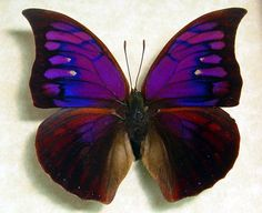 rare purple and fuschia butterfly from Peru