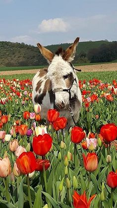 If you wonder what a donkey can eat, you can find all important feeding facts here. Take good care of your donkey with best information. Baby Donkey, Cute Donkey, Mini Donkey, Donkey Pics, Donkey Donkey, Farm Animals, Animals And Pets, Funny Animals, Cute Animals