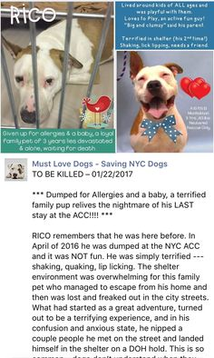 MURDERED 1/22/17  RETURN 01/17/17 STRAY --- RTO 04/28/2016 --- SUPER URGENT Manhattan Center RICO – A1070503 **DOH HOLD 04/18/16** MALE, BROWN / WHITE, AMERICAN STAFF MIX, 8 yrs STRAY – ONHOLDHERE, HOLD FOR DOH-B Reason STRAY Intake condition UNSPECIFIE Intake Date 04/16/2016 http://nycdogs.urgentpodr.org/rico-a1070503/