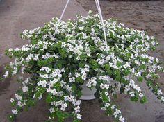lumihiutale - Sutera cordata White Gardens, Patio, Plants, Plant, Planets, Terrace