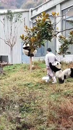 #happy #nice #cute #funny #animals #adorable #panda Panda Gif, Panda Funny, Cute Panda, Funny Dogs, Cute Animal Videos, Cute Animal Pictures, Cute Little Animals, Cute Funny Animals, Panda Mignon