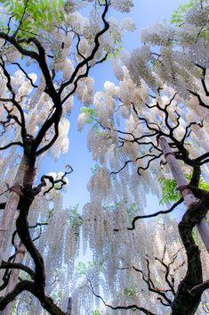 The Kimono Gallery — banshy: White Wisteria, Japan Beautiful World, Beautiful Gardens, Beautiful Flowers, Beautiful Places, Beautiful Pictures, Amazing Photos, White Wisteria, Wisteria Tree, Wisteria Garden