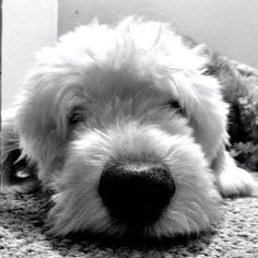 old English sheepdog, Odin. I had two!  They were the absolute best dogs.  My heart is heavy from missing them. RIP my boys!