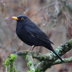 Oiseaux des jardins - Merle noir