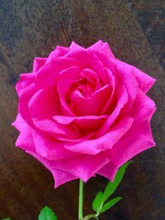 Dit roosje is hard roze van kleur en groeit in mijn achter tuin