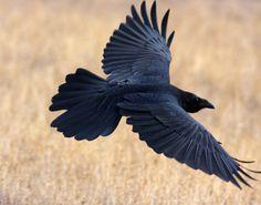 Flying Raven by Mark Miller Raven Wings, Raven Bird, Raven Tail, Flying Raven, Bird Flying, Dark Wings, Crow Art, Jackdaw, Crows Ravens