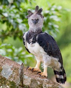 Harpy Eagle, Bald Eagle, Amazon Rainforest, Big Bird, Creatures, Birds, Instagram, Brazil, Presents