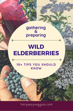 How to Use Wild Elderberries ⋆ The Very Easy Veggie Garden - One of the perfect fall activities or recipes—anything elderberry for its immune boosting powers! Elderberry And Elderflower, Elderberry Recipes, Elderberry Syrup, Elderberry Benefits, Elderberry Ideas, Elderberry Season, Elderberry Gummies, Elderberry Growing, Elderberry Plant