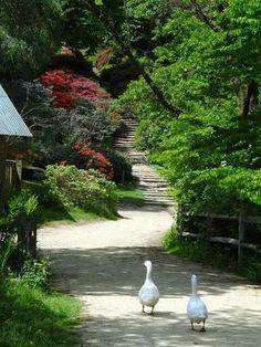 Ducks in my landscape.sounds like a good idea. Country Life, Country Roads, Country Living, Country Farm, Life Is Beautiful, Beautiful Places, English Village, English Countryside, Countryside Village