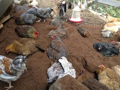 Dust Bath in PeatMoss from A Chicken A Day